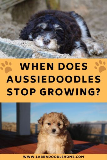 when do aussiedoodles stop growing
