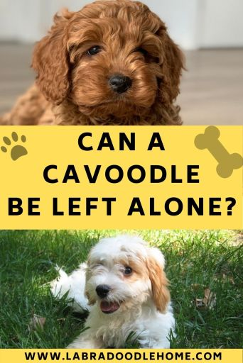 Can a cavoodle be left alone Can a cavoodle puppy be left alone