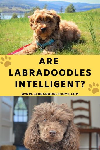 labradoodle intelligence are labradoodles smart are labradoodles intelligent