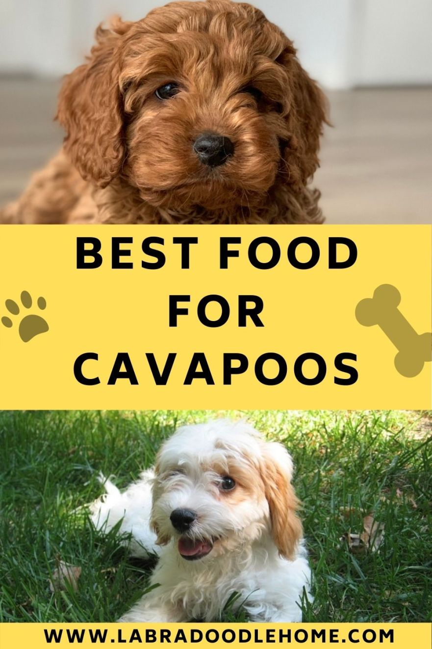 best food for cavapoo dogs