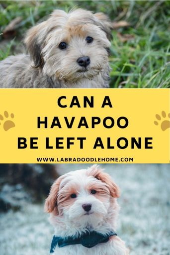 can a havapoo be left alone