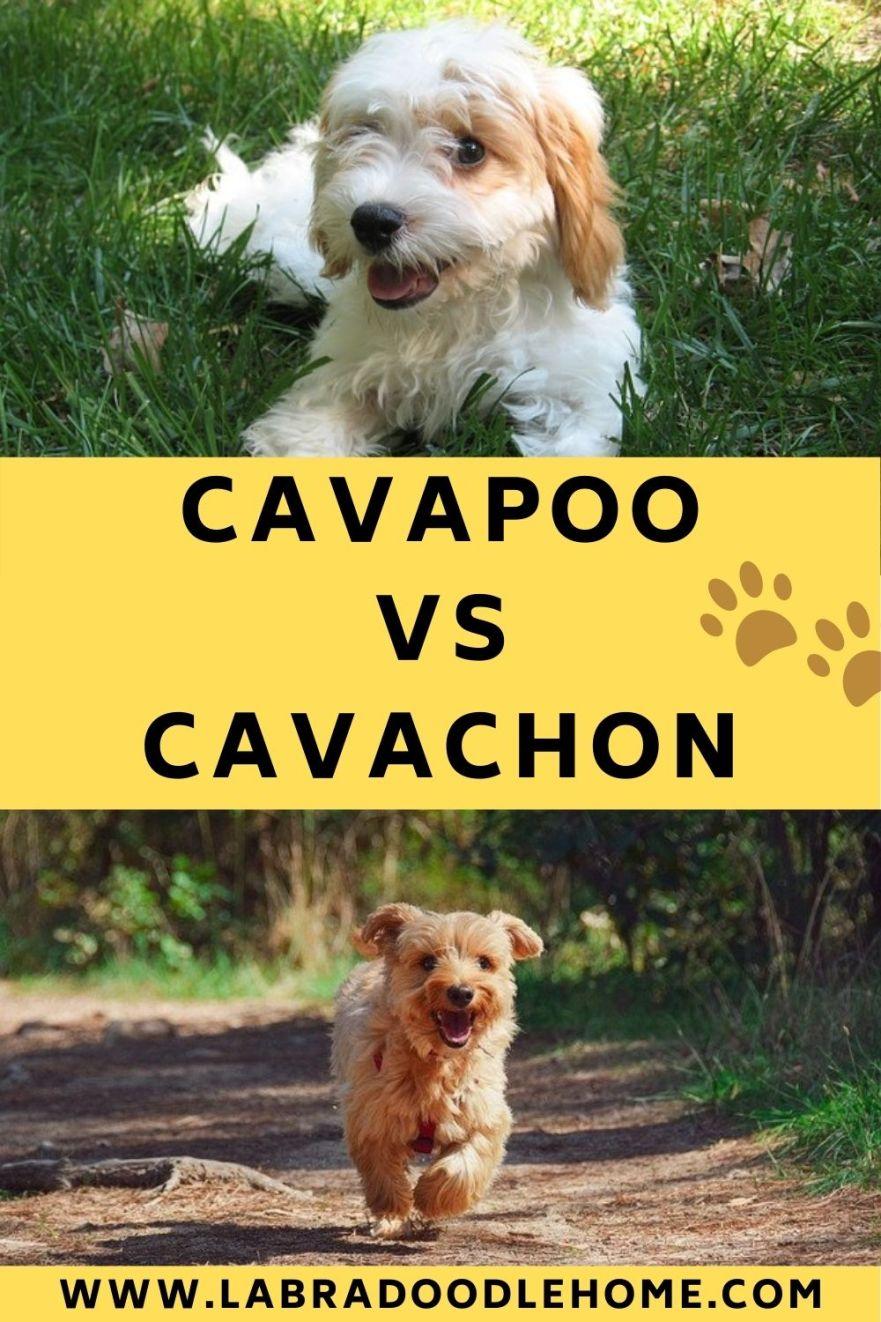 cavapoo vs cavachon