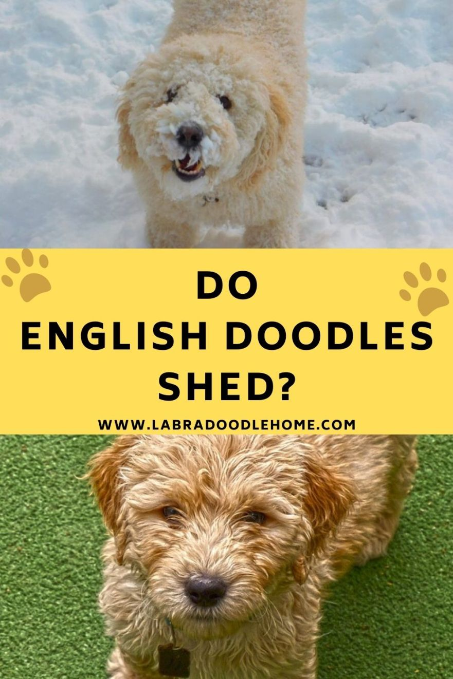 do english doodles shed