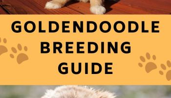 goldendoodle breeding guide