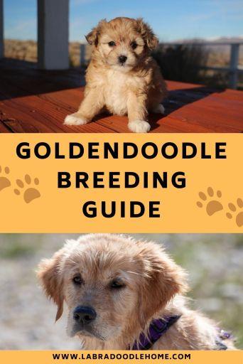 goldendoodle breeding guide