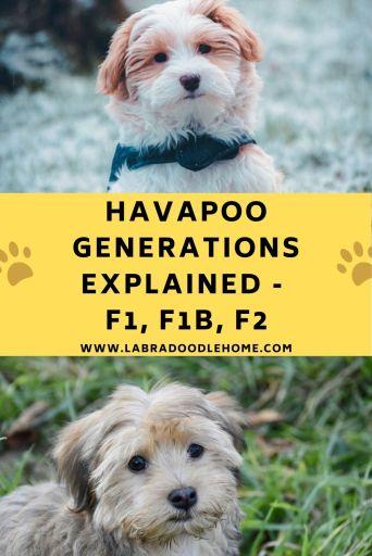 havapoo generations f1 havapoo f1b havapoo f2 havapoo