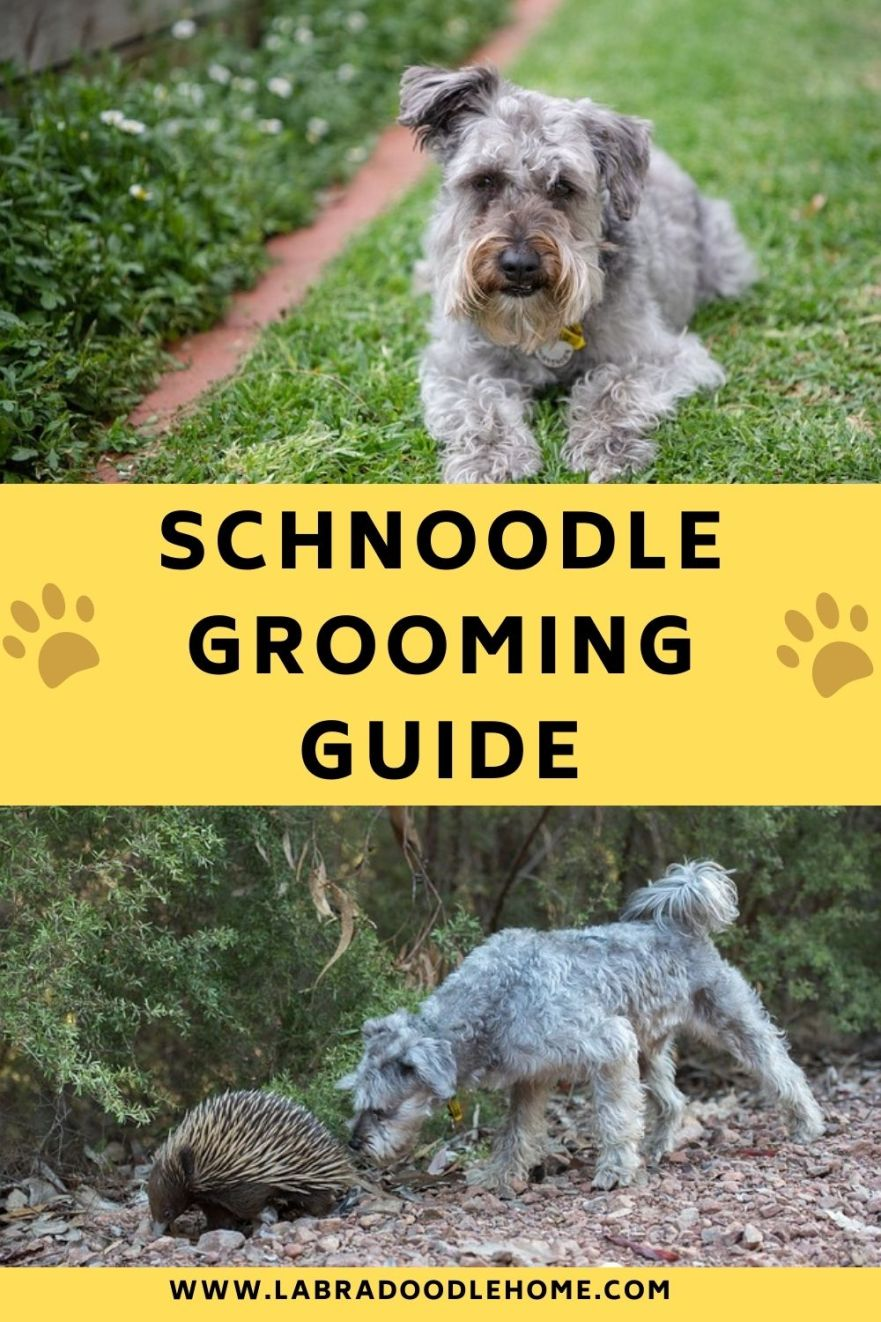 how to groom a schnoodle