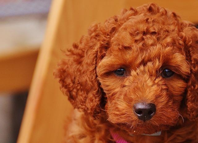 Irish Doodle Appearance irish doodle hunting dog