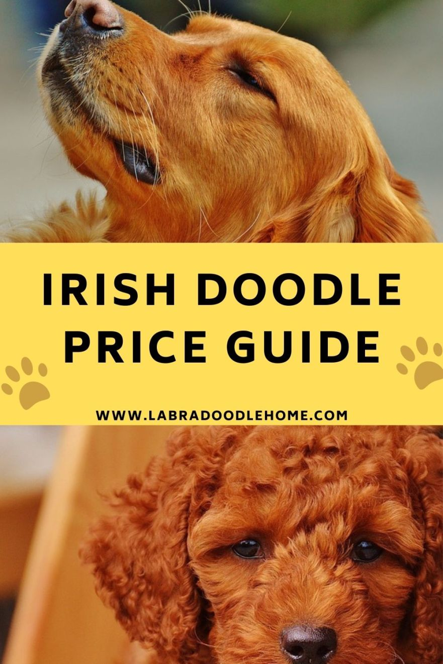 irish doodle price