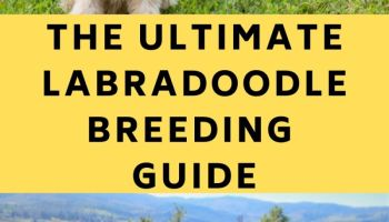 labradoodle breeding guide