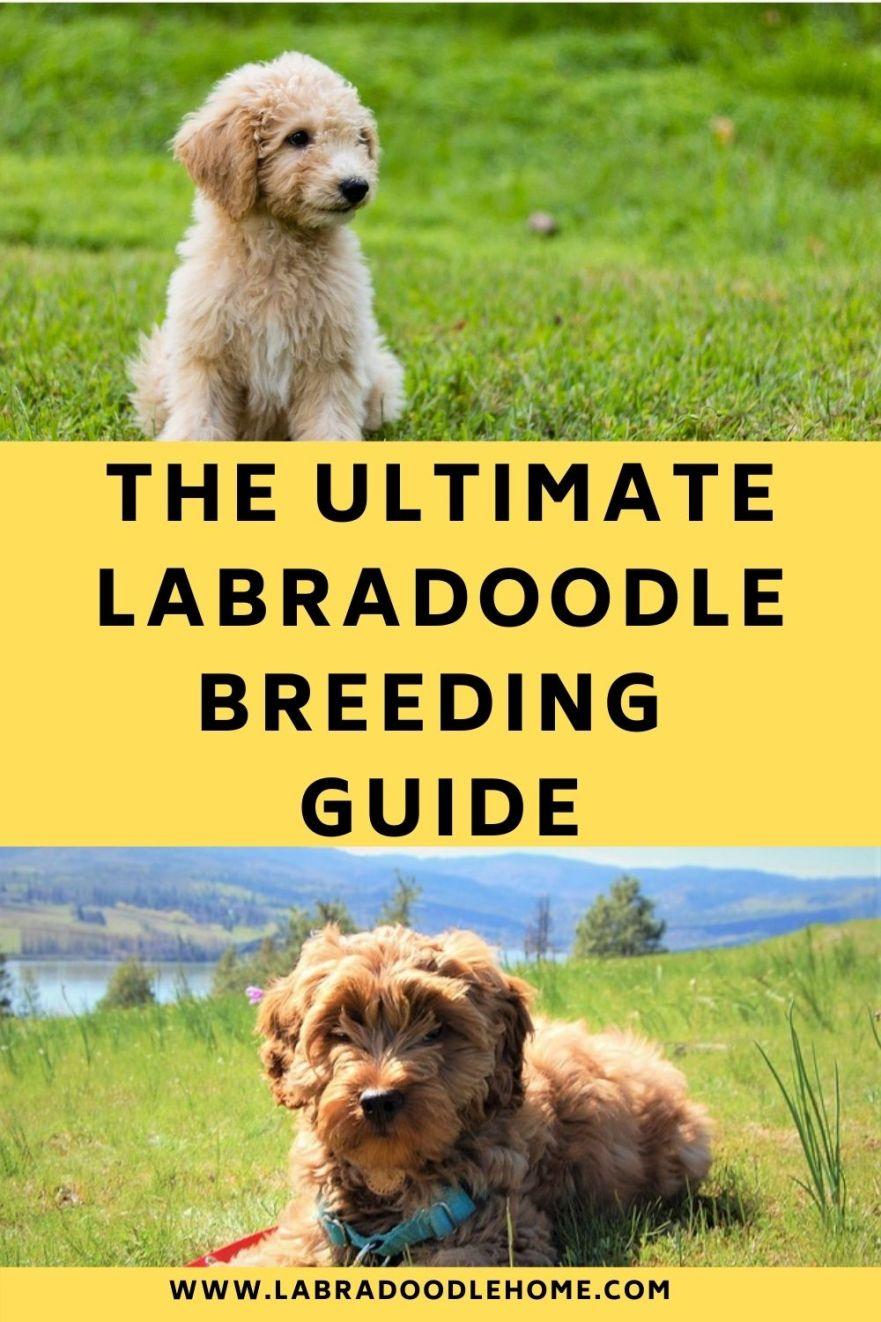 labradoodle breeding guide