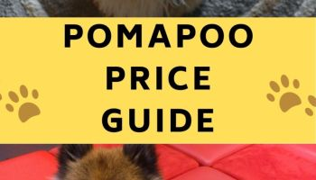pomapoo price - cost of a pomapoo