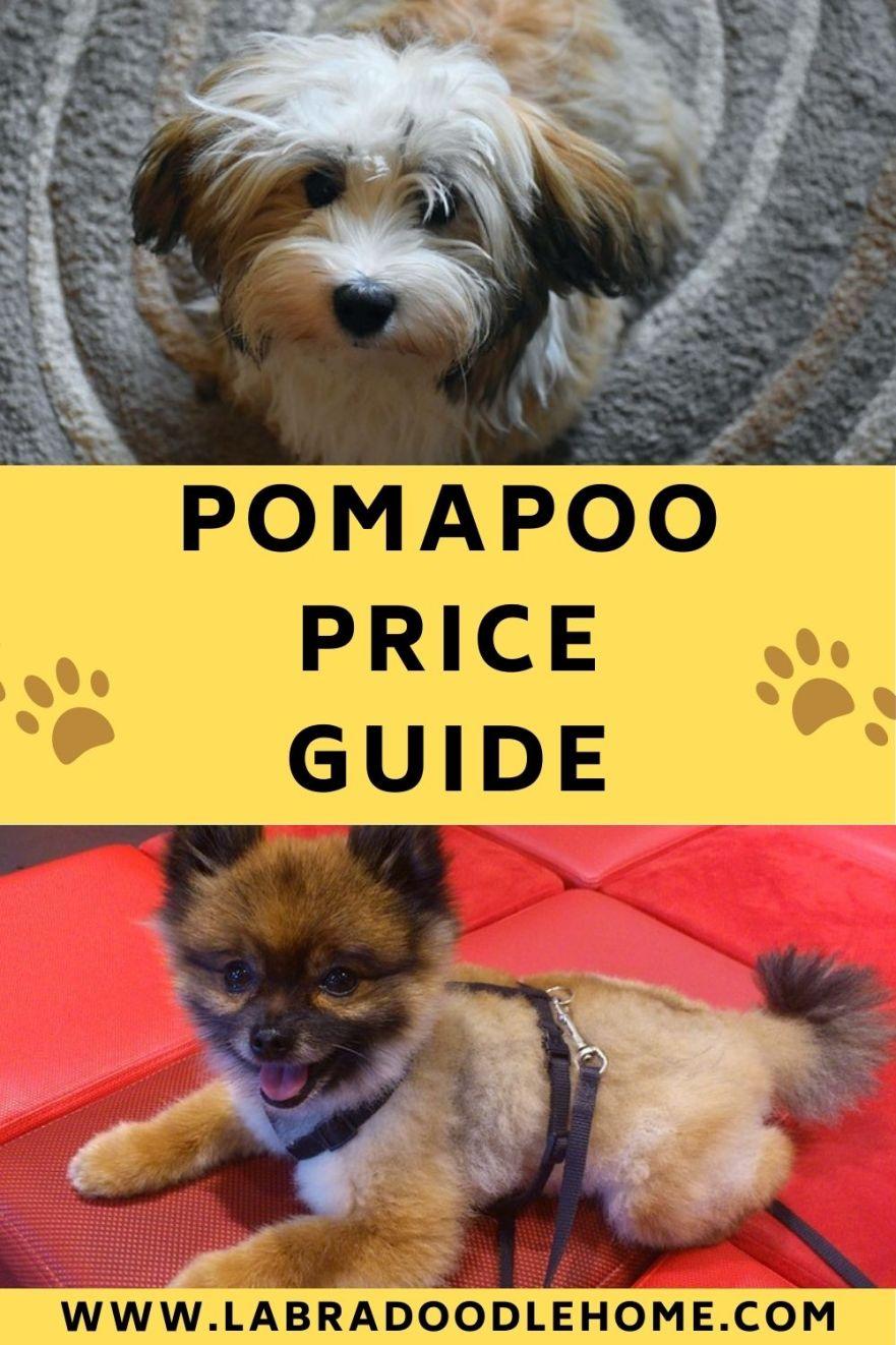 pomapoo price - cost of a pomapoo
