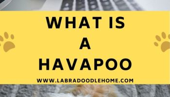what is a havapoo
