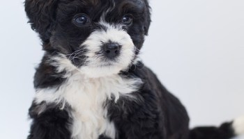 bernedoodle breeders in oregon