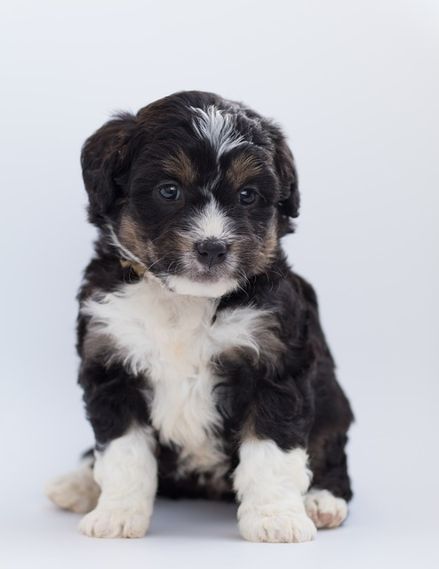 bernedoodle puppies in south california