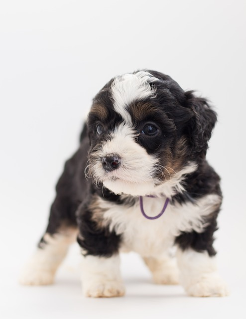 bernedoodle puppies in indiana