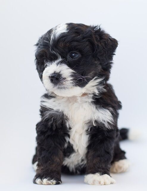 bernedoodle puppies in new jersey