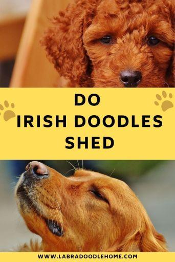 do irish doodles shed