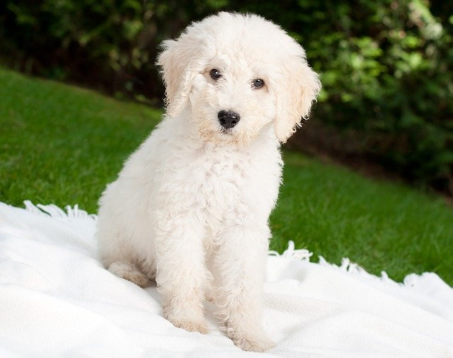 Labradoodle breeders in florida short haired labradoodle