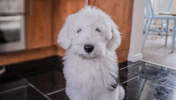 sheepadoodle breeders in new england