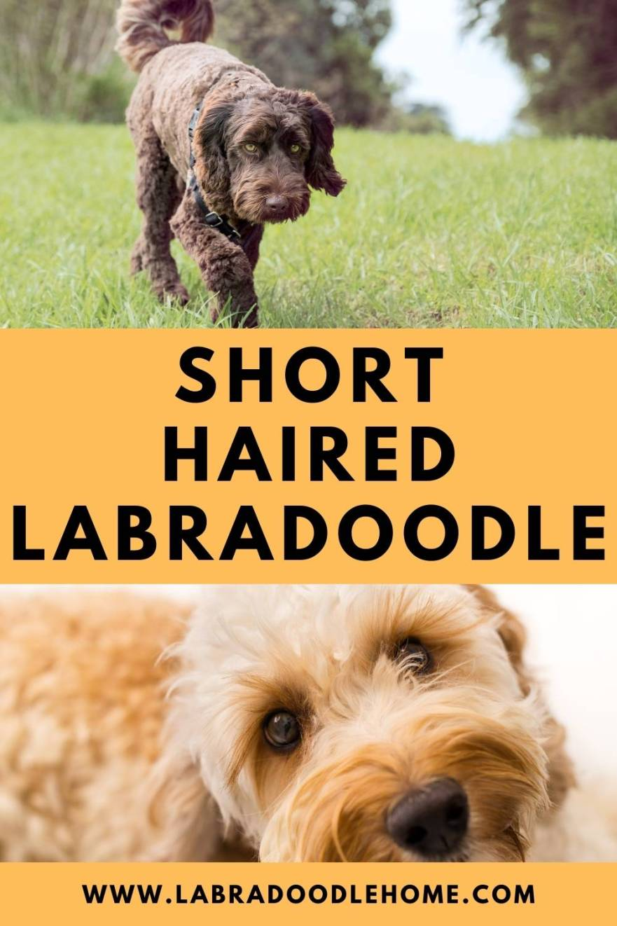 short haired labradoodle