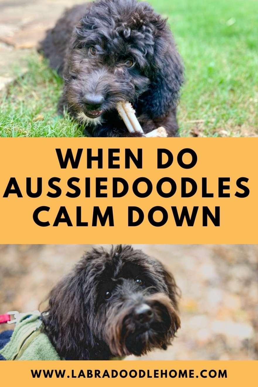 when do aussiedoodles calm down