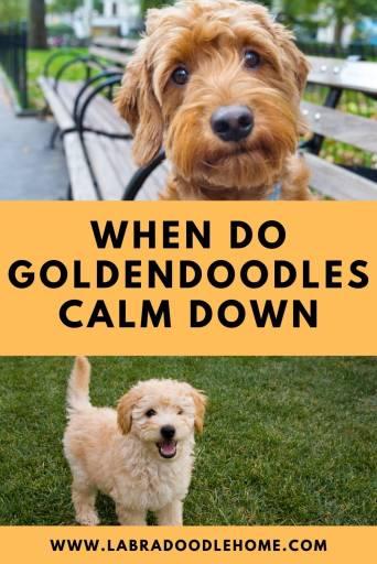 when do goldendoodles calm down
