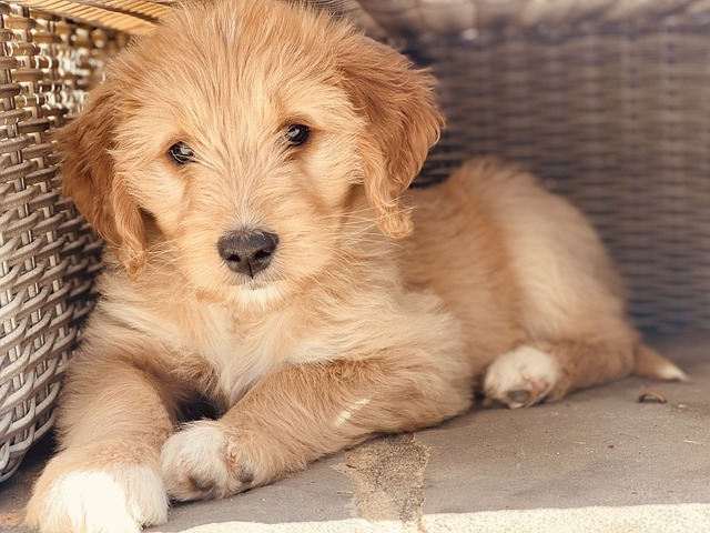 goldendoodle puppies in san diego
