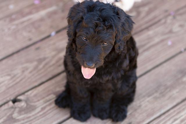 Labradoodle puppies In South Carolina