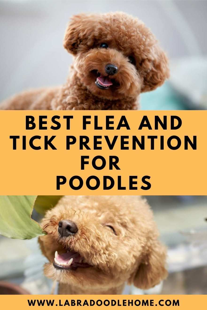 Best Flea And Tick Prevention for Poodles