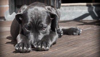 dog dislocated toe