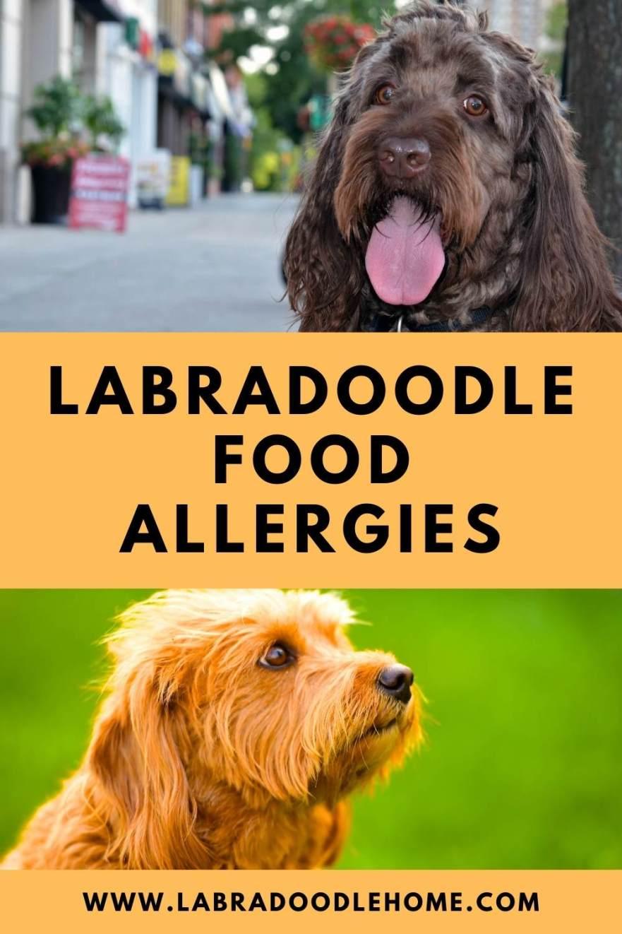 labradoodle food allergies