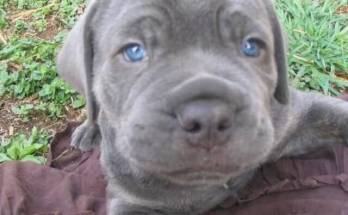 silver-labrador-puppy-sleepy-eyes