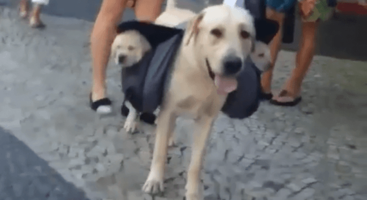 yellow-labrador-carrying-back-pack-with-lab-puppies