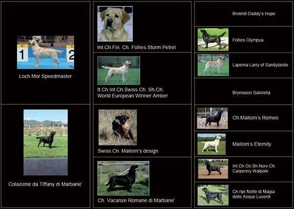 pedigree labrador maschio giallo cris
