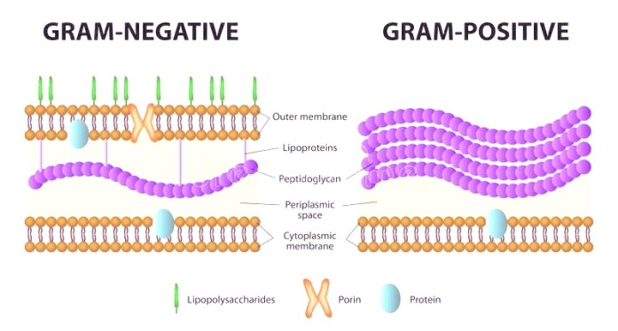Difference between gram positive and Gram negative cell wall in Gram staining