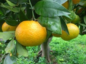 Mandarines Clementina FIna 24/11/2012