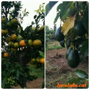 Mandarines i alvocats a principis de novembre