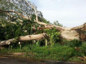 Otro ángulo del árbol caído en Aguadilla. (Foto cortesía del Cuerpo de Bomberos)