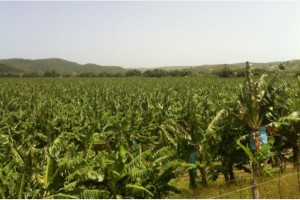 Vista de la finca de la Bananera Pagán en Yauco.