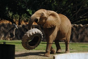 Mundi, la elefante. Residente permanente del Zoológico de Mayagüez (Foto UPR-RUM).