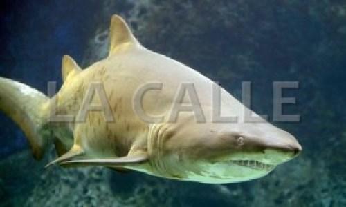 Ejemplar de un tiburón limón como el que atacó a los pescadores de Cabo Rojo (Archivo).