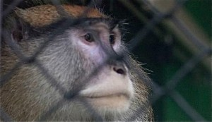 El mono fue capturado por los vigilantes que trabajaron tiempo extra.