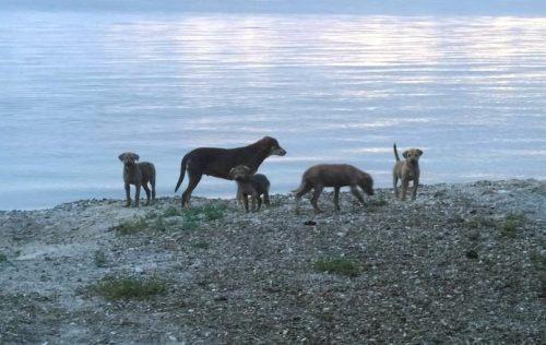 Perros realengos en el sector La Pitahaya de Cabo Rojo (Foto Pitahaya Help Dogs).