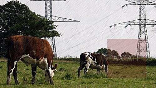 vacas electrocutadas wm