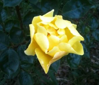 rosa gialla la prima apr 13 01