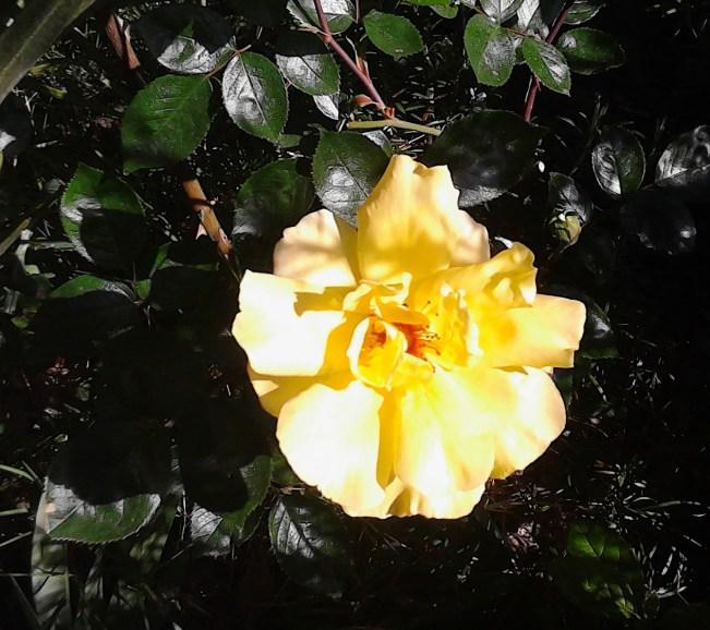 rosa gialla la prima apr 13 03