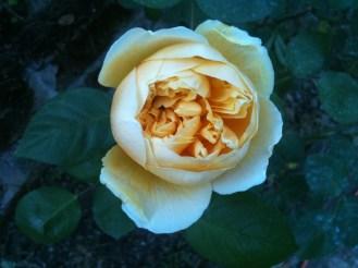 rosa gialla graham thomas mag 6 01