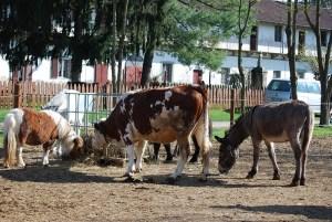 Pony, cavalli, mucche e asini insieme alla Cascina di Carola